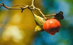 Picture bird, branch, persimmon, Japanese white-eye