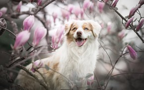 Picture language, look, face, branches, smile, dog, blur, flowering, flowers, Magnolia, Australian shepherd, Aussie