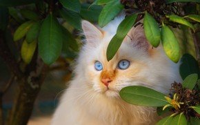 Picture cat, cat, look, leaves, branches, kitty, portrait, fluffy, red, kitty, blue eyes, face, peach