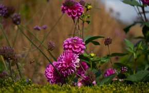 Picture grass, leaves, flowers, background, stems, garden, pink, buds, dahlias