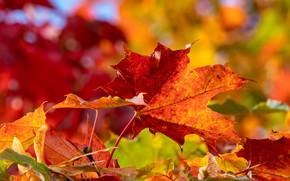 Picture autumn, leaves, macro, maple leaves, bokeh