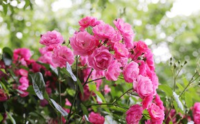 Picture roses, pink, a lot