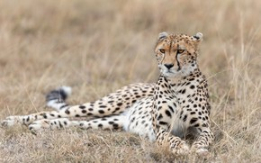 Picture grass, look, face, nature, pose, Cheetah, lies, light background