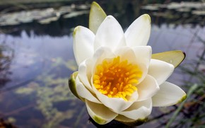 Picture flower, water, water Lily
