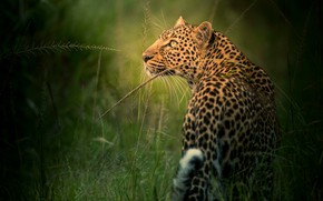 Picture grass, look, face, leopard, profile, wild cat