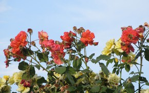 Picture the sky, flowers, roses, Mamala ©, summer 2018