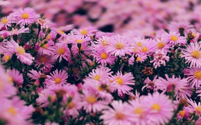 Picture flowers, Bush, pink, a lot, bokeh, asters