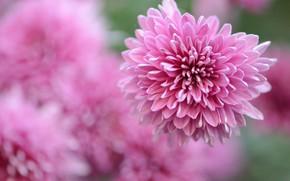 Wallpaper flowers, background, petals, garden, pink, blurred, asters