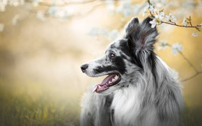 Picture language, grass, flowers, branches, nature, background, dog, spring, profile, flowering, the border collie