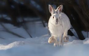 Picture winter, snow, hare, Vladimir Morozov, A snowshoe rabbit