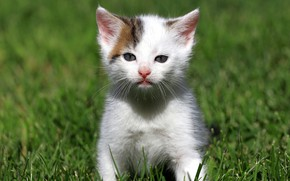 Picture cat, white, grass, look, kitty, glade, kitty, sitting