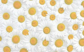 Picture flowers, chamomile, texture