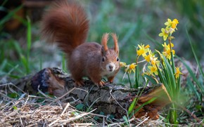 Picture flowers, nature, pose, spring, protein, daffodils, rodent