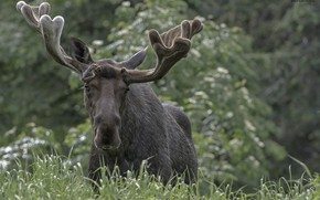 Picture nature, moose, bokeh, DUELL ©