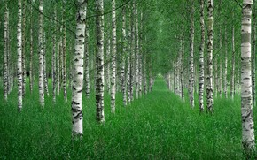 Picture grass, trees, nature, Summer, birch grove