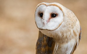Picture look, background, owl, bird, portrait, the barn owl