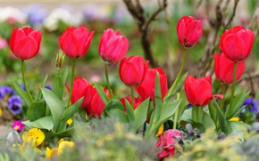 Picture spring, tulips, red, flowerbed