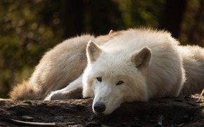 Picture forest, white, look, face, pose, the dark background, wolf, lies, log, bokeh, polar