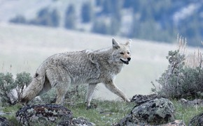 Picture nature, pose, stones, grey, background, vegetation, wolf, running, walk, coyote