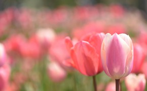 Picture field, spring, tulips