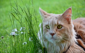 Picture cat, grass, cat, look, face, flowers, glade, portrait, red, lies, collar, Maine Coon, Daisy