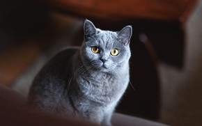 Picture cat, cat, look, face, the dark background, grey, portrait, grey, British, smoky, yellow eyes, British