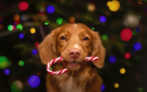 Picture look, lights, pose, the dark background, dog, red, Christmas, puppy, New year, staff, tree, candy, …