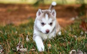 Picture autumn, grass, nature, pose, background, dog, blur, baby, puppy, walk, face, husky, Siberian husky