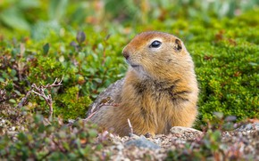 Picture grass, nature, glade, muzzle, animal, sitting, gopher