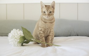 Picture cat, cat, look, face, wall, red, bed, white, sitting, hydrangea