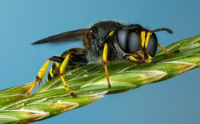 Picture eyes, macro, OSA, stem, black, insect, blue background, spike