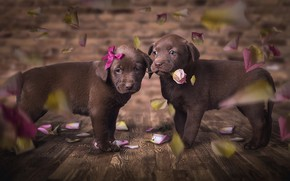 Picture dogs, flower, look, love, flowers, pose, the dark background, background, Board, rose, beauty, eyes, petals, …