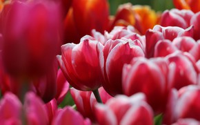 Picture flowers, spring, tulips, pink, bokeh