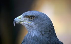 Picture background, head, Falcon, bokeh