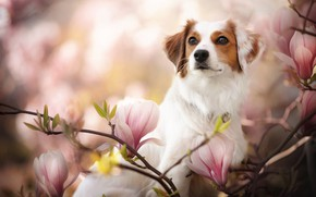 Picture look, face, branches, dog, flowers, bokeh, Magnolia