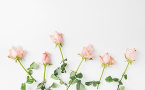 Picture flowers, roses, Pink, buds, roses
