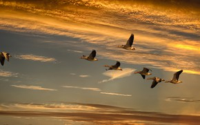 Picture the sky, clouds, light, flight, sunset, birds, pack, geese, a flock of birds, wingspan, flying