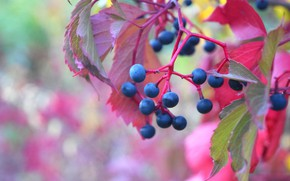 Picture autumn, berries, grapes, red leaves