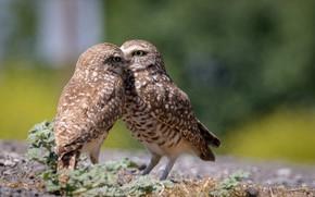 Picture birds, pair, owls