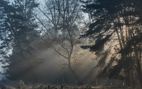 Picture forest, rays, fog, pine