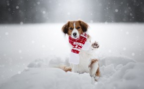 Picture winter, snow, paw, dog, scarf, the snow, snowfall, kooikerhondje