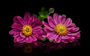 Picture flowers, pink, black background, anemones