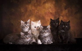 Picture look, cats, pose, the dark background, kitty, kittens, fur, company, friends, a lot, faces, Maine …
