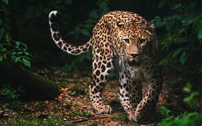 Wallpaper look, face, leaves, nature, pose, the dark background, thickets, predator, paws, mouth, leopard, tail, wild ...