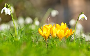 Picture flowers, mood, glade, spring, yellow, snowdrops, crocuses, bokeh