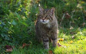 Picture grass, look, nature, walk, wild cat