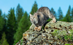 Picture forest, look, pose, stone, lynx