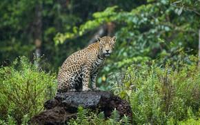 Picture greens, summer, grass, nature, rain, stone, leopard, sitting, wild cat