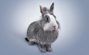 Picture rabbit, ears, pet