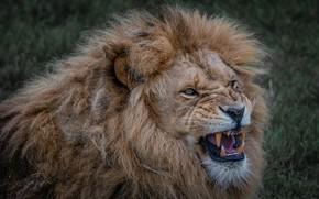Picture face, portrait, Leo, mouth, mane, grin, evil